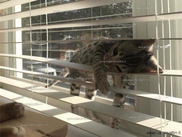 gatta persiana
