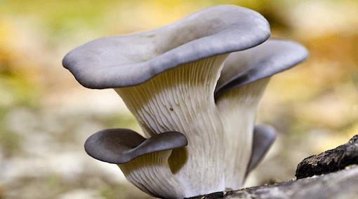 sagra del fungo cardoncello
